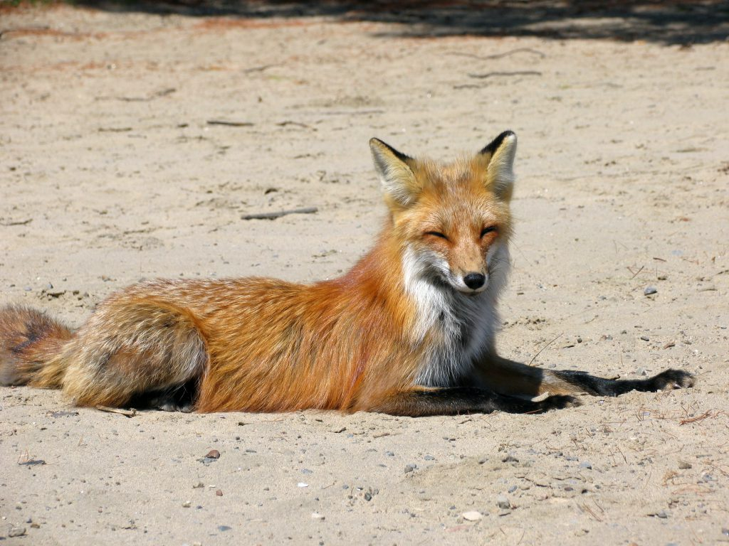 Happy red fox to represent Firefox